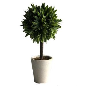 Bay Leaf Plant
