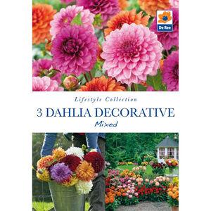 Dahlia Decorative Mixed Flower Bulbs