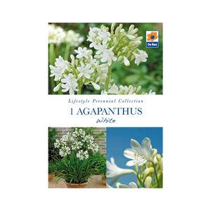 Agapanthus White