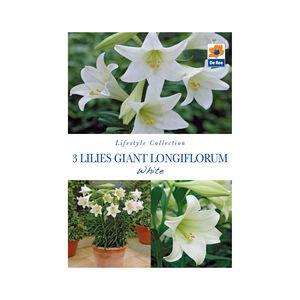 Lillies Giant Longiflorum White