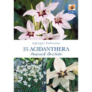 Acidanthera Peacock Orchids